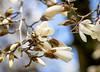Spring in Zurich: Magnolia (2/3) (jaeschol) Tags: europa friesenberg kantonzürich kontinent kreis3 schweiz stadtzürich suisse switzerland wiedikon magnolia