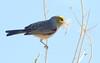 Nest Building -- Verdin (Auriparus flaviceps); Catalina, Arizona [Lou Feltz] (deserttoad) Tags: nature arizona animal bird songbird verdin tree desert behavior