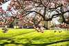 The magnificent magnolia tree (jackfre 2 (sick)) Tags: belgium antwerp mortsel castle domain magnolia magnoliatree flowers spring