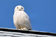 4/12/18 (MRD Images) Tags: snowyowl owl salisbury ma massachusetts spring april sky nature beauty bird canon eos animal zoom 52week week15