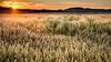 ile-NT-16 (Tasmanian58) Tags: champs fiels barley wheat orleansisland quebec canada nikon d610 nikkor 2485 sunset