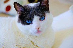 This is Sua; please remain seated. (Fnikos) Tags: portrait pet cat animal blue white eyes indoor