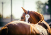 white ribbon (Jen MacNeill) Tags: horse horses chestnut warmblood equine show devon