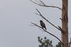 Buizerd (gipukan (rob gipman)) Tags: 177a7598 eos 5dmarkiv canon300lis4 hogeveluwe rover preybird dark