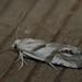 Eucosma pupillana - Листовёртка белая