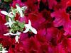 Show Time (the mindful fox) Tags: azalea red flower flowers blümen fleur fleurs flores