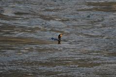 Double-crested Cormorant (David.Sankey) Tags: birding birds birdingnyc rooseveltisland eastriver newyorkcity newyork nycbirding queens cormorant doublecrestedcormorant seabirds