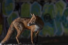 Bristol fox (Thomas Winstone) Tags: graffiti fox redfox canonuk canon 300mm28mk2 mammal mammals canon1dxmark2 uk outdoor urban wild wildlife nature 3lt 3leggedthing thomaswinstonephotography bbc springwatch bbcspringwatch nationalgeographic