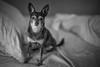 S1080691 (sswee38823) Tags: leica sl leicasl leicasltyp601 leicacamera noctiluxm50mmf095asph noctiluxm109550mmasph noctilux095 noctilux noc noctiluxm109550asph leicanoctiluxm50mmf095asph 095 f95 leica50mmf95 dog pet brownie brown bw blackwhite blackandwhite photography photograph photo seansweeney seansweeneyphotographer littledog elitechihuahuas elitechihuahua