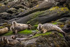 Curious seals (G. Warrink) Tags: visitscotland scotland alba scotspirit scotlandsbeauty thisisscotland hiddenscotland lovescotland findingscotland landscape landscapephotography beautiful panorama skye visitskye isleofskye lochcoruisk coruisk wildlife seals seal commonseal harborseal