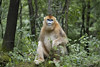 China. (richard.mcmanus.) Tags: china monkey goldensnubnosedmonkey primate mcmanus animals wildlife