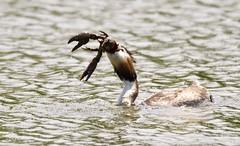 And the winner is....? (Alan McCluskie) Tags: greatcrestedgrebe podicepscristatus crayfish pincers waterbirds grebes ukbirds ukwildlife nature explored inexplore explore
