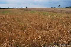 Пшениця, жито, овес InterNetri  Ukraine 048