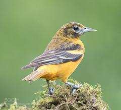 Baltimore Oriole Female (KevinBJensen) Tags: baltimore oriole female birds bird wildlife nature springtime spring