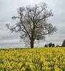 Tree & caonola near Winchester, Hampshire (neilalderney123) Tags: winchester hampshire tree canola rapeseedyello yellow rapeseed
