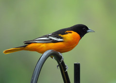 Baltimore Oriole 2 (Kelly Preheim) Tags: baltimore oriole south dakota birds