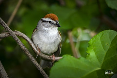 Chipping Sparrow (jt893x) Tags: 150600mm bird breeding chippingsparrow d500 jt893x nikon nikond500 sigma sigma150600mmf563dgoshsms sparrow spizellapasserina thesunshinegroup coth alittlebeauty ngc sunrays5 coth5