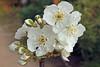 Prunus avium (ab.130722jvkz) Tags: botany 2018botany rosaceae prunus gardenflowers