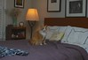 Jimmy (rootcrop54) Tags: jimmy orange ginger tabby male boy longhair lamp xenoteespillowcases xenotees neko macska kedi 猫 kočka kissa γάτα köttur kucing gatto 고양이 kaķis katė katt katze katzen kot кошка mačka gatos maček kitteh chat ネコ cc100 cc300