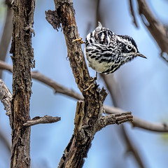 Black and White Warbler (Mniotilta varia) (Wes Iversen) Tags: blackandwhitewarbler illinois mniotiltavaria montrosepointbirdsanctuary springmigration tamron150600mm warblers birds branch nature songbirds trees square
