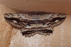 White-patch Bark Moth,  Scioglyptis lyciaria (Baractus) Tags: whitepatch bark moth scioglyptis lyciaria john oates scottsdale tasmania australia inala nature tours