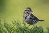 Le chant de la poésie! (anniebevilacqua) Tags: oiseau bird sparrow bruant bruantchanteur songsparrow melospizamelodia faunemontréal montrealwildlife jardinbotaniquedemontréal emberizidé