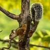 Variegated Squirrel (gecko47) Tags: rodent squirrel variegatedsquirrel sciurusvariegatoides costarica cerrolodge centralamerica diurnal omnivore arboreal