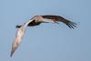 Sandhill Crane Flying (Simon Stobart) Tags: florida unitedstates us sandhill crane flying grus canadensis