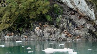 Sea Lions Families -   P1420242