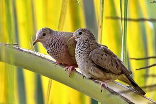 Our Uncommon Common Ground Dove