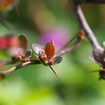 Berberitze (Berberis vulgaris) thumbnail