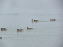 DSCN9976 (Gianluigi Roda / Photographer) Tags: wetlands marsh waterbirds latesummer september 2012 oasi oasiwwflarizza