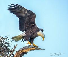 5284 (mikeyasp) Tags: eagles baldeagles birdofprey outdoors birds avian haliaeetusleucocephalus