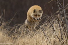 The Leap (rishaisomphotography) Tags: fox redfox vixen vulpesvulpes leaping pouncing hunting jumping nature naturephotography kodiak kodiakisland alaska mammal wildlife wildlifephotography rishaisomphotography action