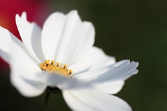 IMG_3542M Cosmos , 波斯菊 (陳炯垣) Tags: nature petal flower cosmos コスモス