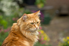 My Friends' Maine Coon cat in their lovely garden - Vinkel 2018 (Wilma v H- Apologies running behind! Gardening!) Tags: mainecoon cats gingercats animals vinkel portraits gardens canoneos60d canon100mm28f flowers dof bokeh luminositymasks tkactionsv6panel outdoors 2018 nederland netherlands katten
