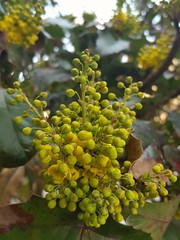 Berberis aquifolium (Iggy Y) Tags: berberisaquifolium berberis aquifolium spring blossom flower yellow color flowers green leaves nature park plant oštrolisnamahonija mahonija mahonia oregongrape day light