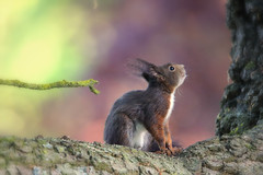 the only way is up (judith.kuhn) Tags: eichhörnchen tier sciurusvulgaris natur nature animal squirrel outdoor wildlife tree baum ast branch blätter laub leaves säugetier mammal rodent nager nagetier
