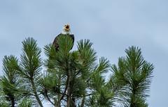 Southern Oregon bald eagle (acase1968) Tags: sycan ranch beatty oregon nikon d750 tamron 150600mm bald eagle haliaeetus leucocephalus al case