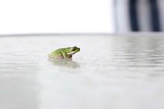 tiny frog (Gillian Everett) Tags: australian green tree frog queensland 365 2018 mdpd2018 mdpd20185 35 118