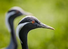 Demoiselle Cranes (Sheldrickfalls) Tags: demoiselle cranes demoisellecranes demoisellecrane crane hamertonzoo hamerton cambridgeshire england anthropoidesvirgo coth5