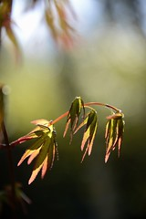 renewal (courtney065) Tags: nikond800 nature landscapes flora foliage blurred artistic softlight japanesemaples leaves spring green red sky morning delicate morninglight baklight serenitynow painterly