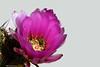 ER 180427 (5 b) (Paolo Bonassin) Tags: cactus cactaceae echinocereus flowers