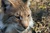 Katzenportrait (grasso.gino) Tags: tiere animals natur nature wildpark granat nikon d5200 katze cat luchs lynx portrait