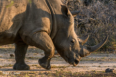 _AJ20087 copy (alj70) Tags: greatlimpopotransfrontierpark londolozi southafrica whiterhinoceros