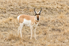 Pronghorn buck keeping close watch