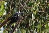 Magie (Thunder1203) Tags: canoneos1dx nature eucalyptus gumtree beak feathers bird magpie