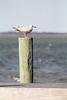 Piling On (RPahre) Tags: gull seagull herringgull immature piling birdislandbasin padreislandnationalseashore padreisland bokeh texas