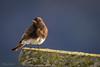 Black Phoebe (Selkii's Photos) Tags: birds blackphoebe california lasgallinasponds lasgallinasvalleysanitarydistrict marincounty phoebe sanrafael sayornisnigricans