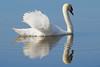 ... (@oloarge) Tags: cigno swan cygne colore color oloarge acqua water fiume river isonzo isoladellacona